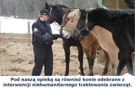Inspektorka razem z trzema uratowanymi końmi. Podaje karmę jednemu z nich